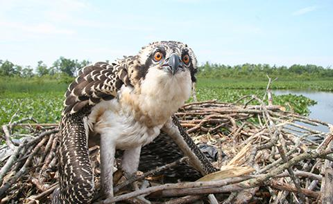 Osprey Banding in Chesapeake Bay National Estuarine Research Reserve, Maryland
