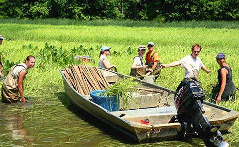 Wild rice planting in Chesapeake Bay National Estuarine Research Reserve, Maryland