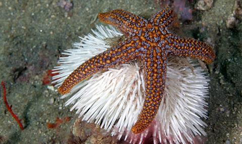 Sea star and urchin hanging out in Gray's Reef National Marine Sanctuary