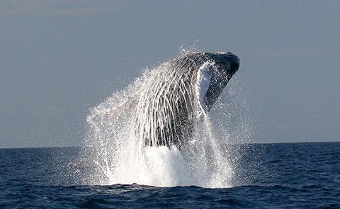 """Whale Breaching"", HIHWNMS/NOAA Fisheries Permit #782-1438"