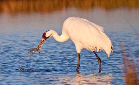 Whooping Crane in Mission-Aransas National Estuarine Research Reserve, Texas