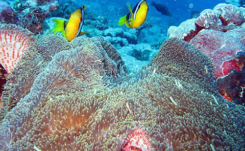 Clownfish and anemone off the end of Aunu'u sanctuary unit