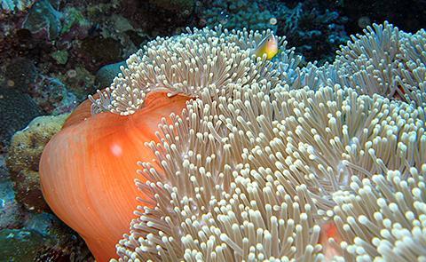 Anemone in Aunu'u