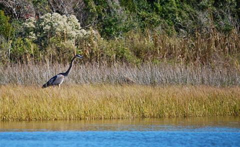 Heron in the North Carolina National Estuarine Research Reserve, North Carolina