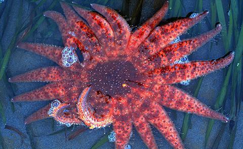 Sea star in Padilla National Estuarine Research Reserve, Washington
