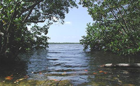 View of the bay through a mangrove forest in Rookery Bay National Estuarine Research Reserve, Florida