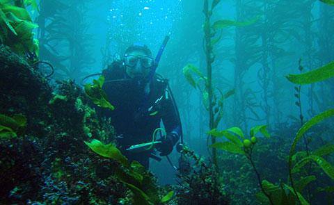 Diver in Channel Islands kelp forest.