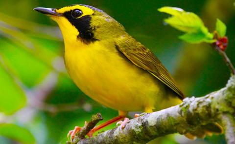 Yellow birdYellow bird on a branch
