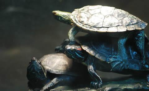 Turtles climbing each otherTurtles