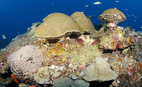 Coral reef capCoral reef cap in Flower Garden Banks National Marine Sanctuary