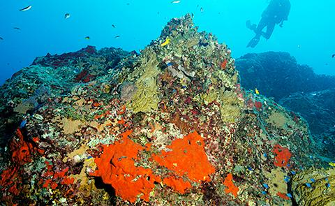 Pinnacles of Stetson Bank Diver exploring pinnacles of Stetson Bank in Flower Garden Banks National Marine Sanctuary