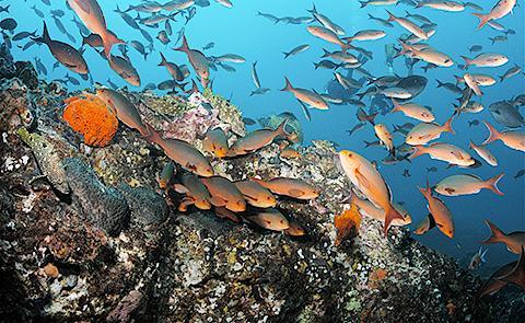 School of creole fishSchool of creole fish in Flower Garden Banks National Marine Sanctuary