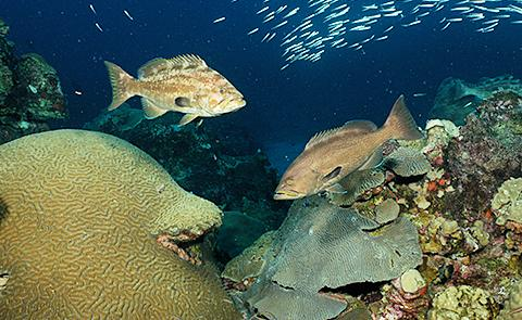 Yellow mouth grouperYellow mouth grouper hovering over coral reef in Flower Garden Banks National Marine Sanctuary