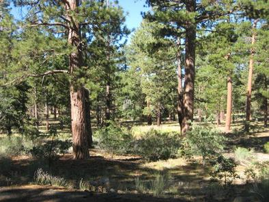 Shade and Pine Trees of the Lobo Group Campground