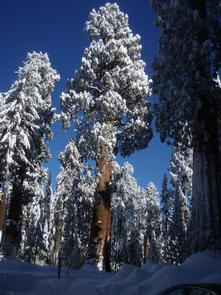Snow Covered Sequoias Sequoia trees covered with snow, winter in the Giant Forest