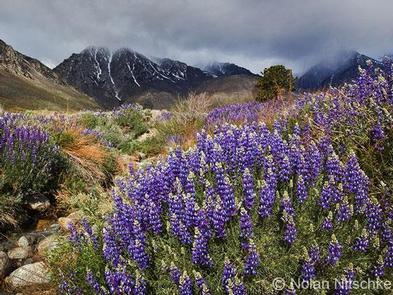 Lupine bloom near Division Creek.