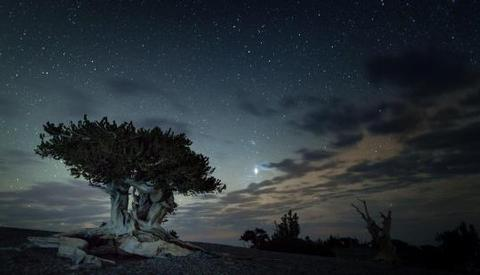 Bristlecone Pine against a starry sky at duskBristlecone Pine in Great Basin National Park