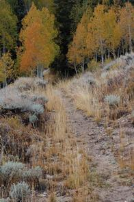 Hiking trail disappearing into orange fall aspen treesHiking trail in autumn