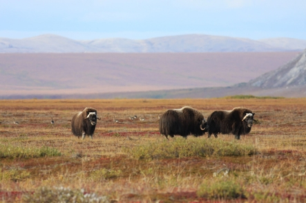 Muskox and GeeseMuskox and Greater White-fronted Geese on vegetated beach ridges in front of the Igichuk Hills.