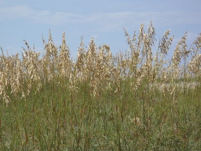 Sea OatsIn late summer, Sea Oats are the most conspicuous plant growing on the sand dunes with their graceful, drooping seed heads.