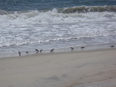 SanderlingsSmall sandpipers, called Sanderlings, are common sights on the ocean beach as they search for food in the sand between waves