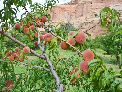 Capitol Reef Peach OrchardThe Capitol Reef Orchards, planted in the pioneer era, remain a popular place for visitors today.