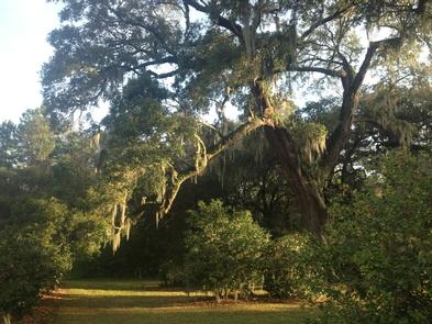 Live OakSpanish Moss drape Live Oak in the early morning sun.