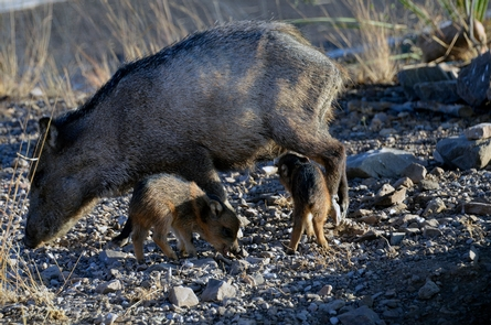 Javelina and YoungA female javelina, or collared peccary, and her young, often called reds because of the color of their hair when very young.