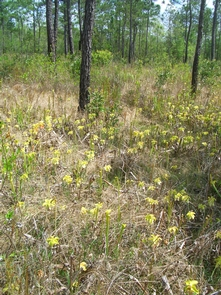 Pitcher Plants and PinesEarly April is the best time to see wildflowers blooming in the Big Thicket..