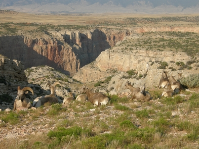Bighorn Sheep Overlooking the Canyon