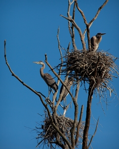 Nesting Great Blue HeronsGreat Blue Herons attend their nests in a tree