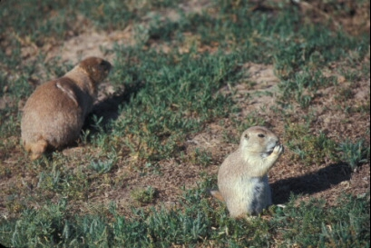 Prairie dogs at Devils Tower