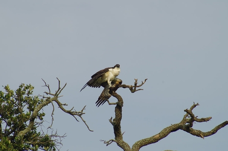 Osprey Perches on Live OakAn Osprey, once endangered, dries its wings in the on-shore breeze while perched on a live oak.