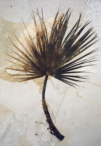 Palm FrondFossil palm fronds and other plants indicate a climate similar to the Gulf Coast states.