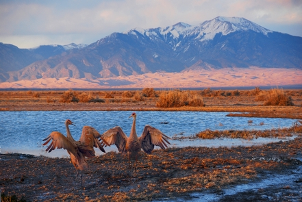 Sandhill Cranes Dancing, Dunes, and Mount HerardSandhill cranes spend part of the spring and fall in the San Luis Valley each year. Look for them in farm fields during daytime, then in wetlands from sunset to sunrise.  In spring, they dance to attract mates.