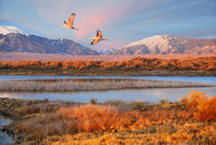 Sandhill Cranes Flying Over Wetland West of DunefieldSandhill cranes spend part of each spring and fall in the San Luis Valley.