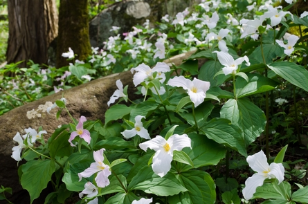"The ""Wildflower National Park""Wildflowers, such as these white trillium, can be found blooming from February through November in the park."