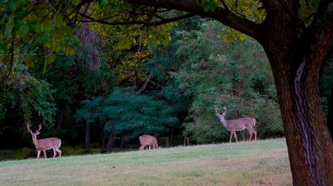 Deer in Greenbelt ParkWhite tailed deer in Greenbelt Park