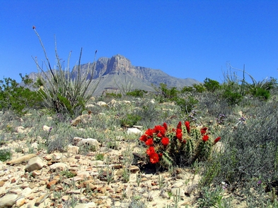 El CapitanBlossoming claret cup cacti add a splash of color to the Chihuahuan desert.