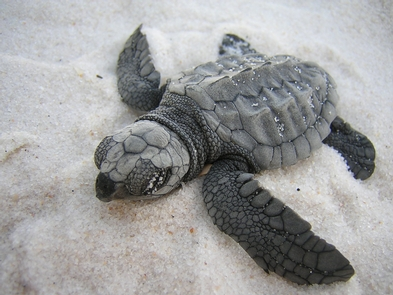 Sea TurtlesGulf Islands National Seashore biologist study sea turtle to protect them and their habitats.