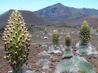 'Ahinahina blooms in Haleakala crater'Ahinahina silversword blooms in Haleakala crater