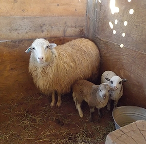 Navajo-Churro ewe with lambsEach spring Navajo-Churro ewes give birth to their lambs at Hubbell Trading Post.