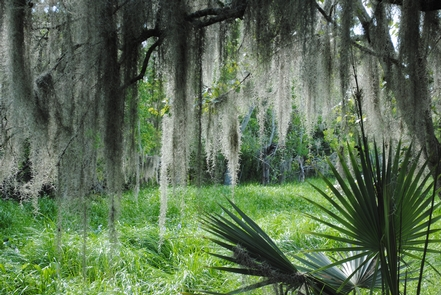Barataria Preserve of Jean Lafitte National Historical Park and PreserveSpanish moss and lush vegetation provide glimpses of Louisiana's wild wetlands at Jean Lafitte's Barataria Preserve.