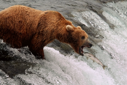 Bear catching jumping salmonIn July, brown bears often stand on the lip of Brooks Falls to try to catch leaping salmon.