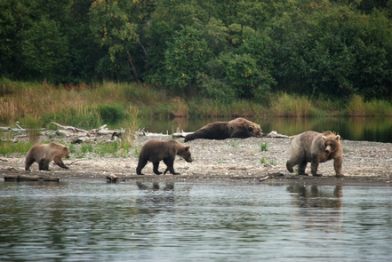 Bear family walks near sleeping bearSalmon streams in Katmai attract high numbers of brown bears.