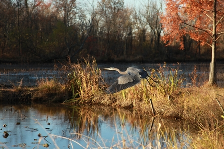 Flight in FallThe wetlands and marsh habitat many shore birds and they can be seen wading in and around the ponds for food.