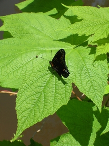 Red Admiral ButterflyButterfly at Delaware Canal State Park near Upper Black Eddy, PA