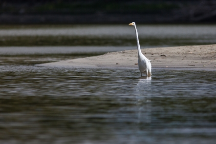 Great Egret Fishes the Mississippi RiverWildlife is a common sight along the river.