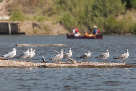 Canoeing Past GullsCanoeists find a wide variety of wildlife in the backwaters of the Mississippi River.