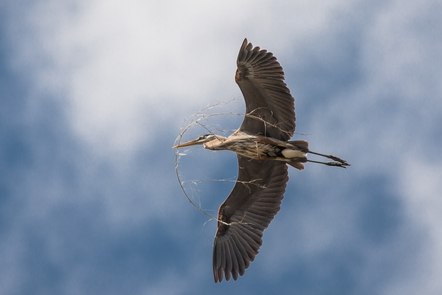 Building a NestBlue herons are a common sight on the Mississippi River and its backwaters.